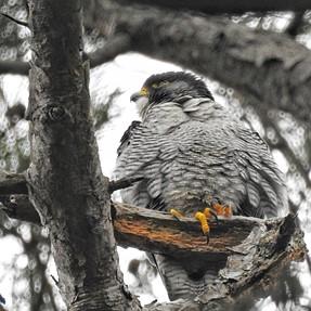 P900 - Peregrine Falcon... poor light