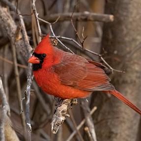 Cardinal and Dove