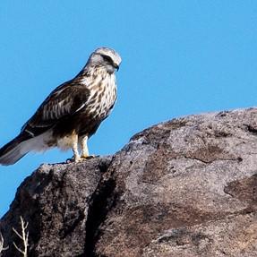 Hawk Id