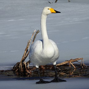 Whooper swan season is here