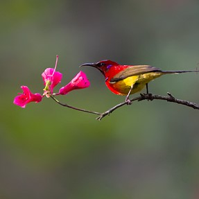 Spring's in The Air (Sunbird)