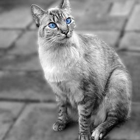 Feline sequence