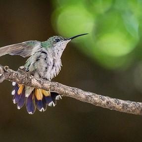 Wildlife species: birds, hummingbird and lizard