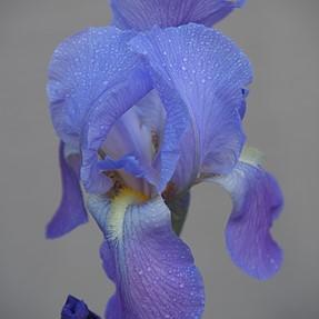 Reverse Vignette - Iris (I think)