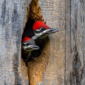 Pileated woodkers , Feeding time