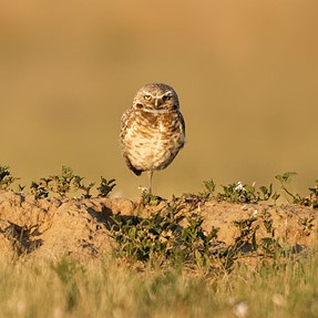 Burrowing Owl (Images) - Nikon D850 and Sigma Sport 150-600