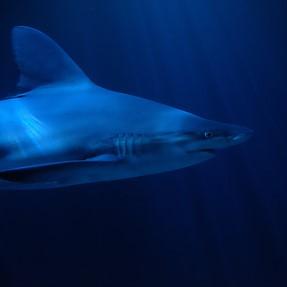 X-T1 vs X-T2--  high ISO performance (shark)