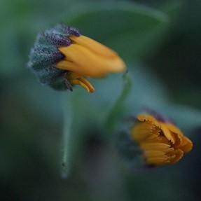 Buds with Minolta 50mm macro
