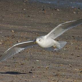 P950, Some gulls at full zoom
