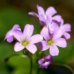 wood sorrel flowers