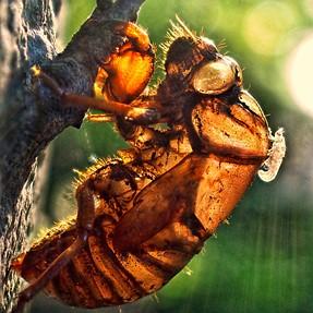 An empty cicada molt