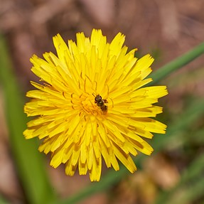 3 mm solitary bee
