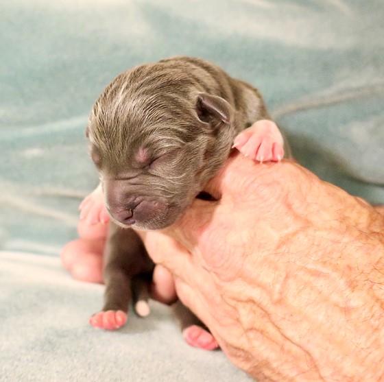 American Bandogge Mastiff Puppies