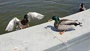Nikon Coolpix P7700 duck sample video