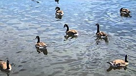 Olympus TG-2 geese sample video